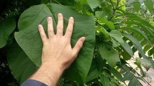 Northern_Catalpa_Leaf